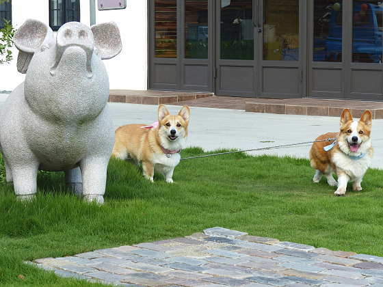 愛犬コーギー