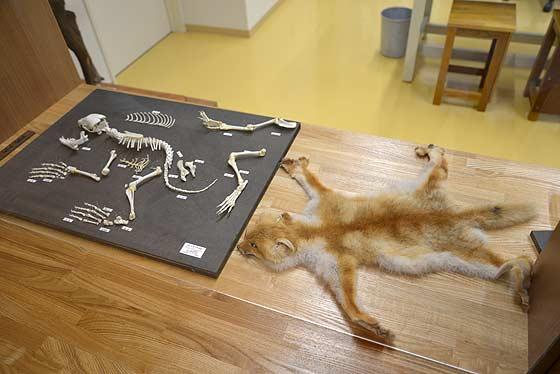 キツネの骨格標本